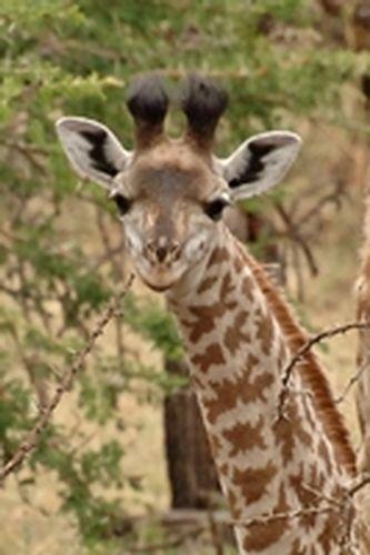 Baby Masai Giraffe - Giraffa camelopardalis tippelskirchi - Serengeti D2X 082 11-15-14CE.jpg