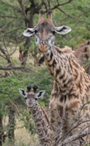 Baby Masai Giraffe - Giraffa camelopardalis tippelskirchi - Serengeti D5200 127 11-15-14C.jpg