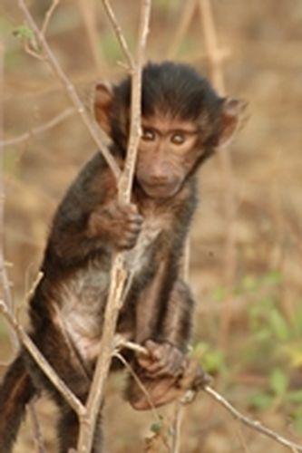 Baby Olive Baboon - Papio anubis - Ngorongoro NP Tanzania D2X 079 11-18-14E.jpg