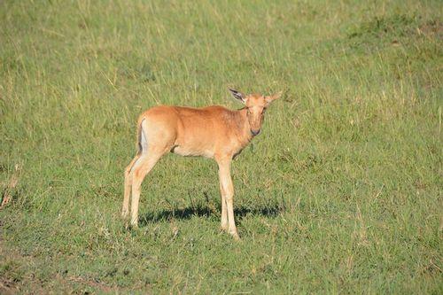 Baby Topi - Damaliscus lunatus - Masai Mara NP Kenya D5200 160 11-9-14.jpg