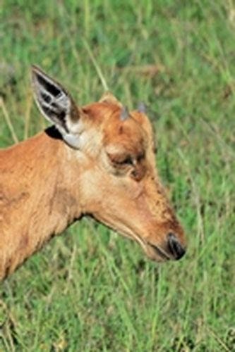 Baby Topi - Damaliscus lunatus - Masai Mara NP Kenya D800 145 11-9-14CE2.jpg