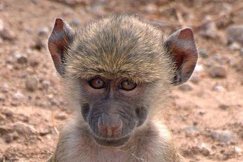 Baby Yellow Baboon - Papio cynocephalus - Amboseli NP Kenya D2X  053 11-12-14CE.jpg