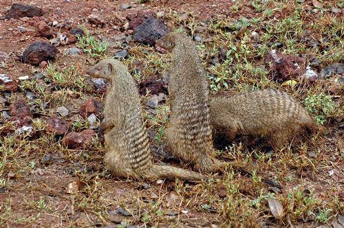 Banded Mongoose - Mungos mungo - Lake Manyara NP Tanzania D2X 043 11-14-14E.jpg