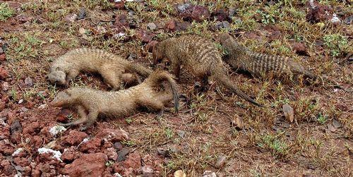 Banded Mongoose - Mungos mungo - Lake Manyara NP Tanzania D2X 048 11-14-14CE.jpg