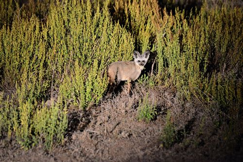 Bat-eared Fox - Otocyon megalotis - Lake Navashia NP Kenya D800 508 11-6-14E.jpg