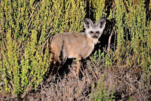Bat-eared Fox - Otocyon megalotis - Lake Navashia NP Kenya D800 509 11-6-14CE.jpg