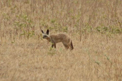 Bat-eared Fox - Otocyon megalotis - Ngorongoro NP Tanzania D2X 012 11-19-14CE.jpg