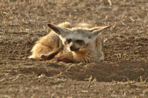 Bat-eared Fox - Otocyon megalotis - Ngorongoro NP Tanzania D2X 047 11-18-14CE.jpg