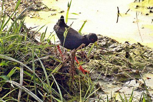 Black Crake - Amaurornis flavirostra - Amboseli NP Kenya D2X 063 11-12-14CE.jpg