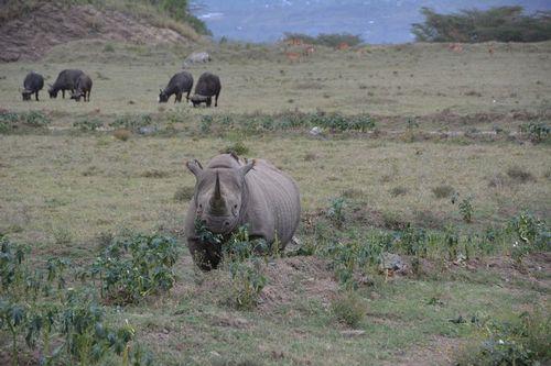 Black Rhinoceros - Diceros bicornis - Lake Nukuru NP Kenya D5200 024 11-6-14.jpg