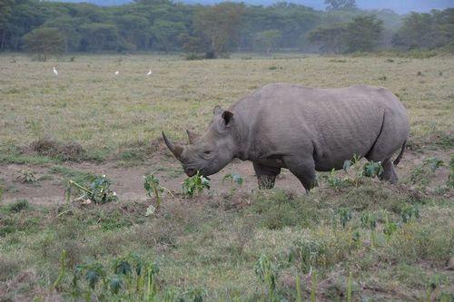 Black Rhinoceros - Diceros bicornis - Lake Nukuru NP Kenya D5200 030 11-6-14.jpg
