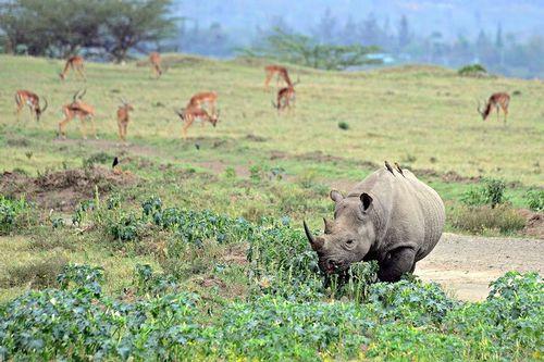 Black Rhinoceros - Diceros bicornis - Lake Nukuru NP Kenya D800 006 11-6-14CE.jpg