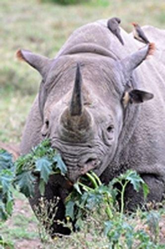 Black Rhinoceros - Diceros bicornis - Lake Nukuru NP Kenya D800 026 11-6-14CE.jpg