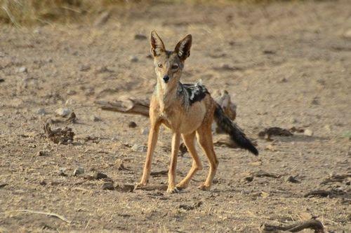 Black-backed Jackal - Canis mesomelas - Amboseli NP Kenya D800 428-2014-11-11CE.jpg
