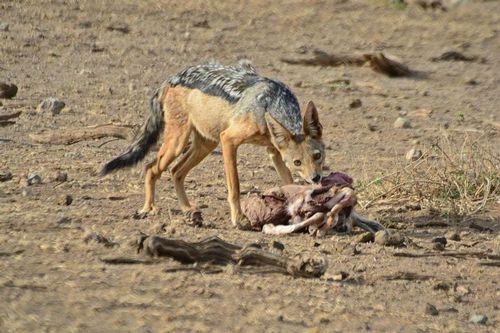 Black-backed Jackal - Canis mesomelas - Amboseli NP Kenya D800 429-2014-11-11CE.jpg