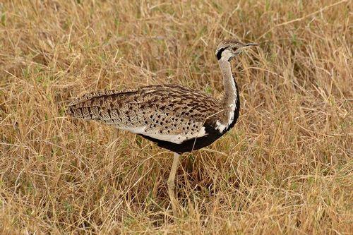 Black-bellied Bustard - Eupodotis meianogaster - Ngorongoro NP D2X 077 11-19-14CE.jpg