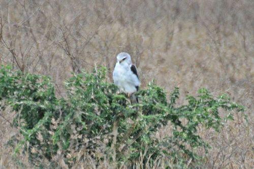 Black-shouldered Kite - Elanus axillaris - Ngorongoro NP Tanzania D800 238 11-18-14CE.jpg