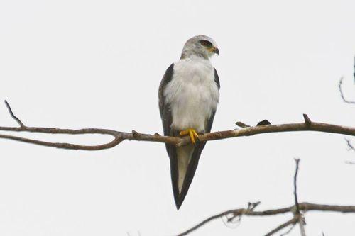 Black-shouldered Kite - Elanus caeruleus - Ngorongoro NP Tanzania D800 159 11-19-14CE.jpg