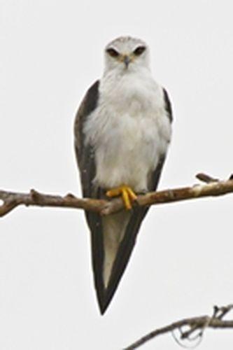 Black-shouldered Kite - Elanus caeruleus - Ngorongoro NP Tanzania D800 168 11-19-14CE.jpg