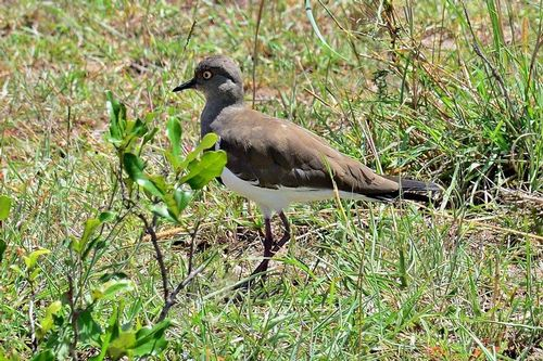 Black-winged Lapwing - Vanellus melanopterus - Masai Mara NP D800 180 11-9-14CE.jpg