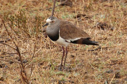 Black-winged Lapwing - Vanellus melanopterus - Ngorongoro NP D2X 126 11-19-14CE.jpg