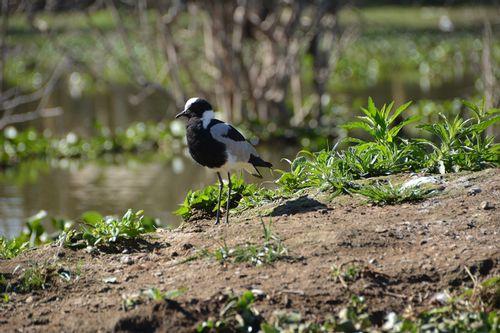 Blacksmith Plover - Vanellus armatus - Lake Navashia NP Kenya D5200 227 11-7-14.jpg