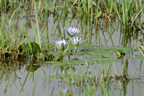 Blue Egyptian Lotus - Nymphaea caerulea -  Amboseli NP Kenya D800 147 11-12-14CE.jpg