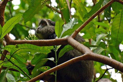 Blue Monkey - Cercopithecus mitis - Lake Manyara NP Tanzania D2X 060 11-14-14 CE.jpg