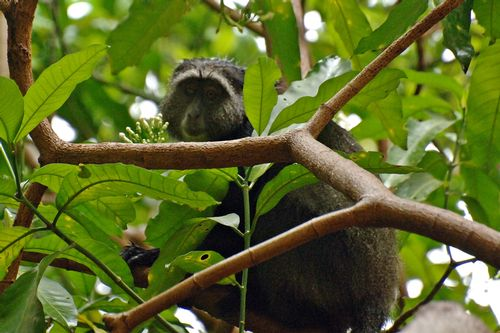 Blue Monkey - Cercopithecus mitis - Lake Manyara NP Tanzania D2X 062 11-14-14CE.jpg