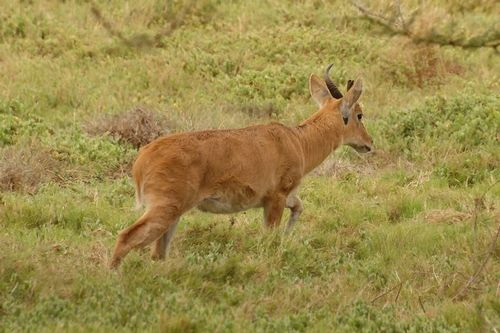 Bohor Reedbuck - Redunca redunca - Amboseli NP Kenya D2X  184 11-11-14CE.jpg