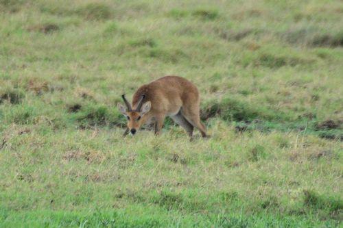 Bohor Reedbuck - Redunca redunca - Amboseli NP Kenya D800  116 11-11-14CE.jpg