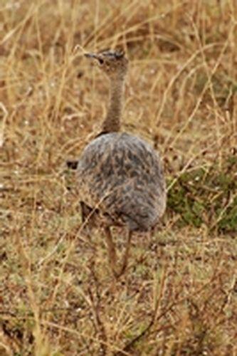 Buff-crested Bustard - Eupodotis gindiana - Ngorongoro Tanzania D2X 135 11-19-14CE.jpg