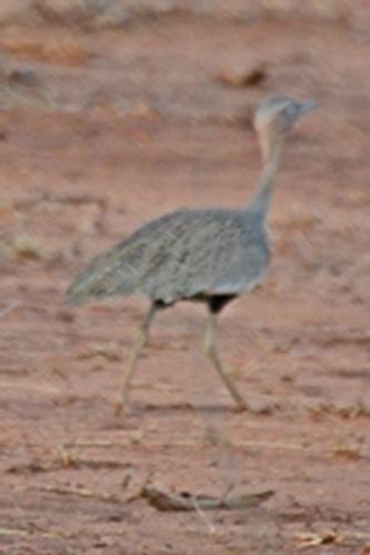 Buff-crested Bustard - Eupodotis gindiana - Tsavo West NP Kenya D800 309 11-12-14CE.jpg