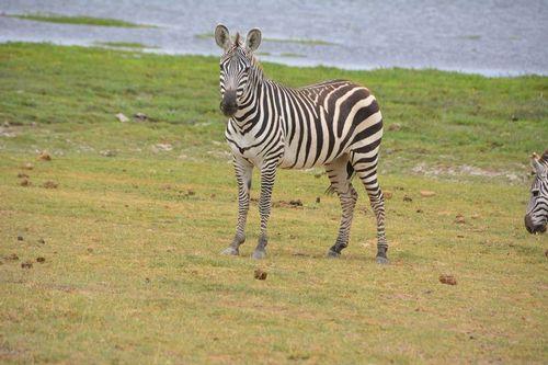 Burchells Zebra - Equus burchelli - Amboseli NP Kenya D5200 233 11-11-14.jpg
