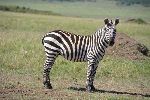 Burchells Zebra - Equus burchellii - Masai Mara NP Kenya D5200 234 11-9-14.jpg