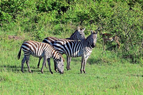 Burchells Zebra - Equus burchellii - Masai Mara NP Kenya D800 093 11-9-14E.jpg