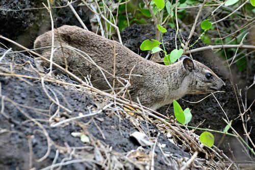 Bush Hyrax - Heterohyrax brucei - Tsavo West NP Kenya D800 246 11-12-14CE.jpg