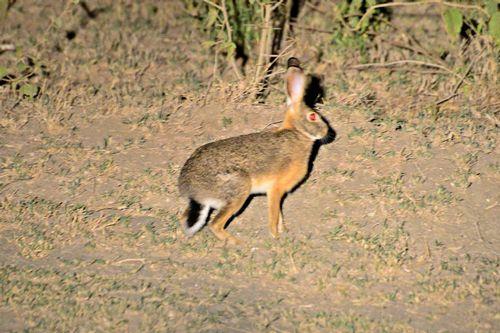 Cape Hare - Lepus capensis - Lake Navashia NP Kenya D800 501 11-6-14CE.jpg