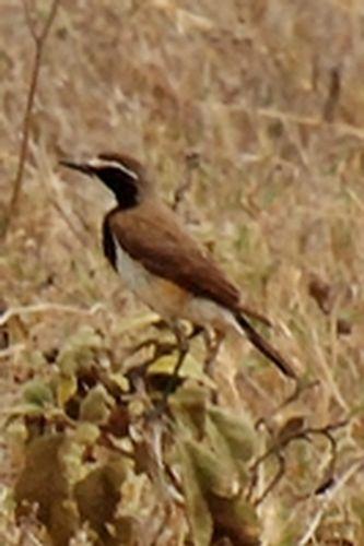 Capped Wheatear - Oenanthe pileata - Ngorongoro NP Tanzania D2X 097 11-19-14CE2.jpg