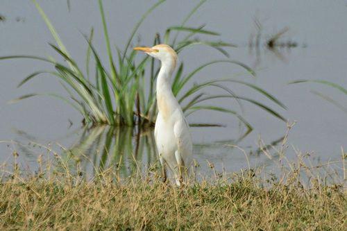 Cattle Egret - Bubulcus ibis - Amboseli NP Kenya D800 141 11-12-14CE.jpg