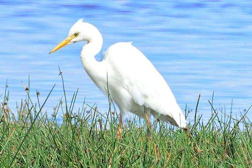 Cattle Egret - Bubulcus ibis - Lake Nakuru NP Kenya D800 215 11-6-14CE2.jpg