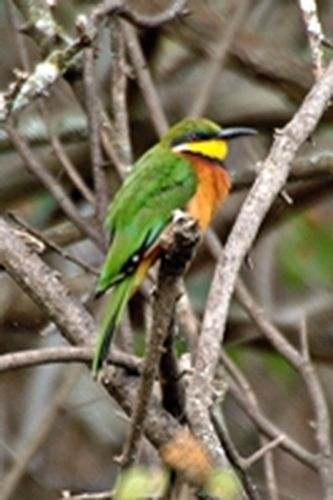 Cinnamon-chested Bee-eater - Merops oreobates - Lake Nakuru D2X 147 11-6-14CE.jpg