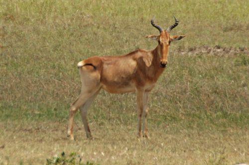 Cokes Hartebeest - Alcelaphus buselaphus cokii - Masai Mara NP D2X 073 11-9-14CE.jpg