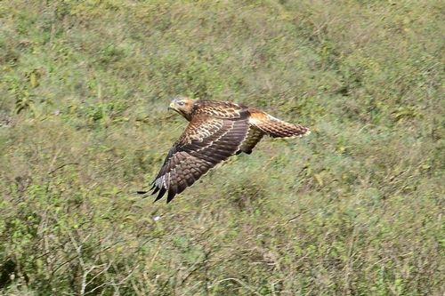 Common Buzzard - Buteo buteo - Lake Nakuru NP Kenya D800 187 11-6-14CE.jpg