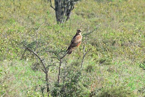 Common Buzzard - Buteo buteo - Lake Nakuru NP Kenya D800 197 11-6-14CE.jpg