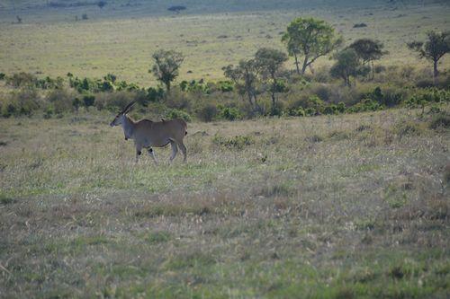 Common Eland - Taurotragus oryx - Masai Mara NP Kenya D5200 613 11-7-14.jpg