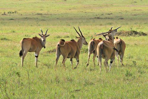 Common Eland - Taurotragus oryx - Masai Mara NP Kenya D800 480 11-8-14CE.jpg