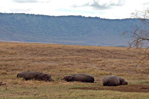 Common Hippopotamus - Hippopotamus amphibious - Ngorongoro D2X 106 11-19-14CE.jpg