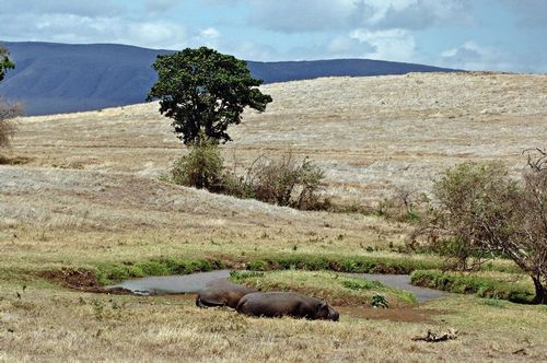 Common Hippopotamus - Hippopotamus amphibious - Ngorongoro D2X 196 11-18-14E.jpg