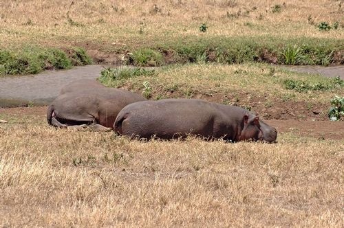Common Hippopotamus - Hippopotamus amphibious - Ngorongoro D2X 199 11-18-14E.jpg